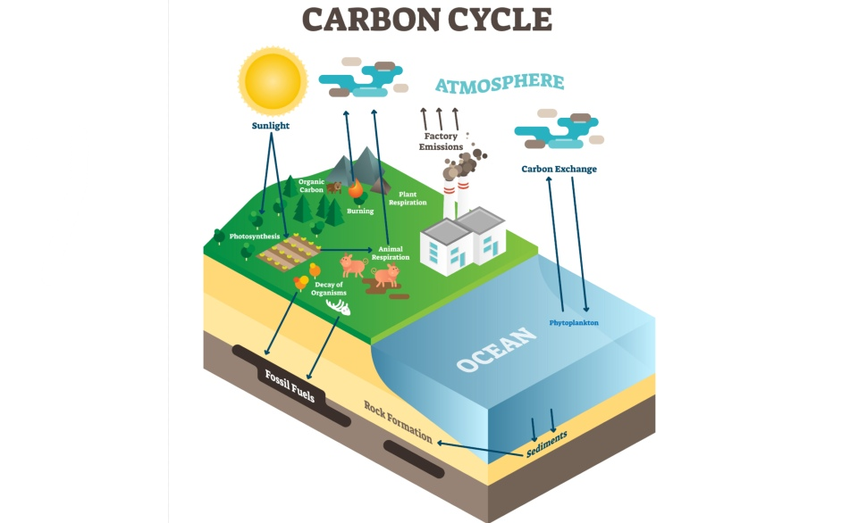Graphic of the carbon cycle
