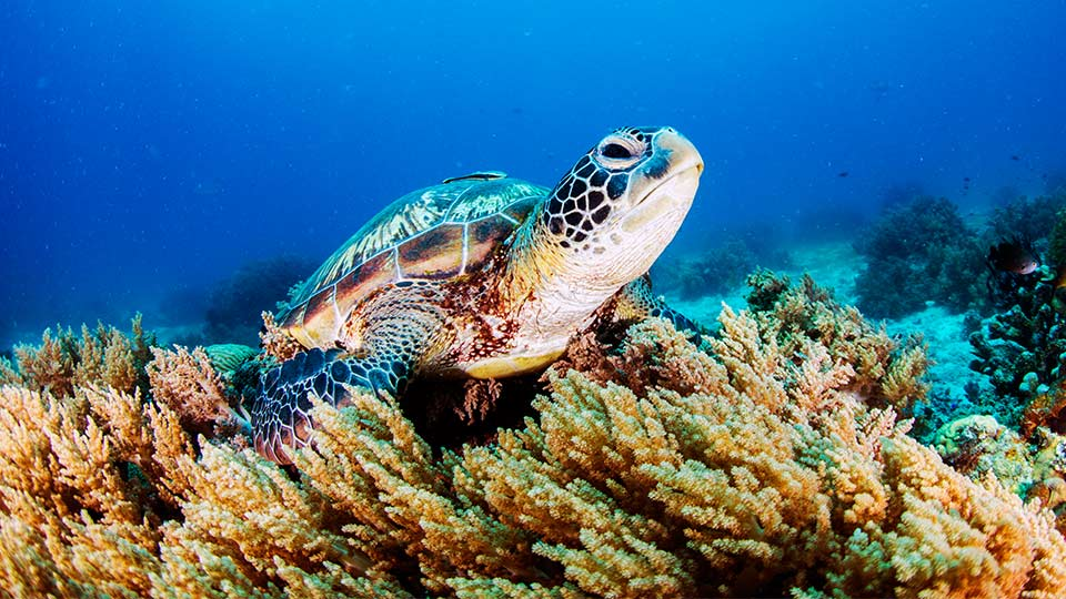 A turtle on a bed of coral.