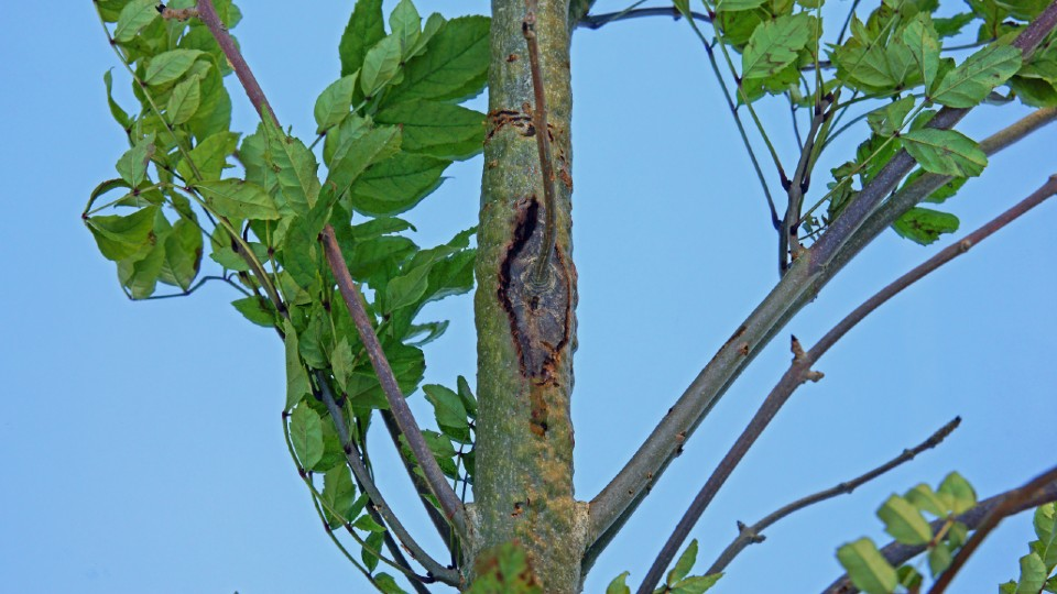 Ash dieback, Painswick Beacon, The Cotswolds, Gloucestershire, UK – Image courtesy of Getty.