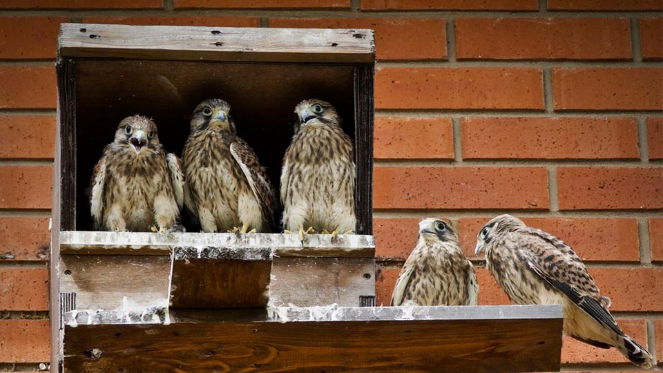 Some kestrels making a home for themselves at the university
