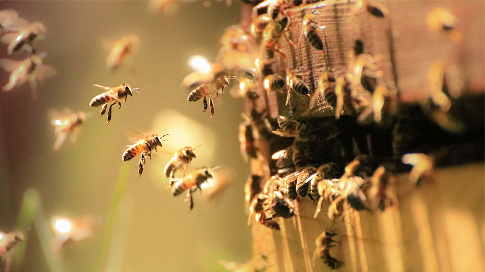photo of honeybees flying around and landing close to hive