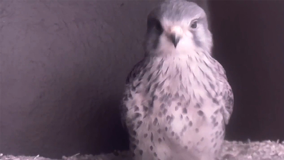 Pictured is the kestrel in the University nest box.