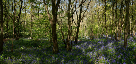 Pictured are bluebells in Burleigh Wood.
