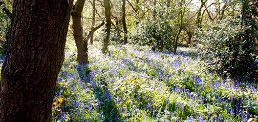 photo of the bluebells in Burleigh Woods