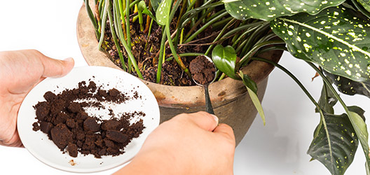 Pictured is a person putting coffee grounds into a plant pot.