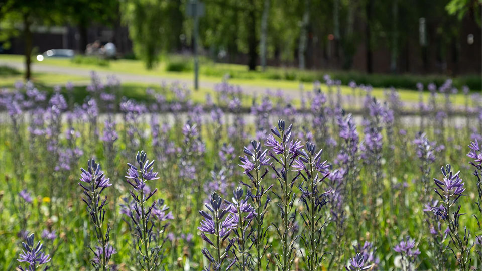 Photo of purple flora on the Loughborough campus