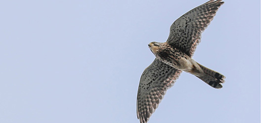 Pictured is a kestrel flying. Image courtesy of Mark McCall Photography (www.markjsmccall.com).